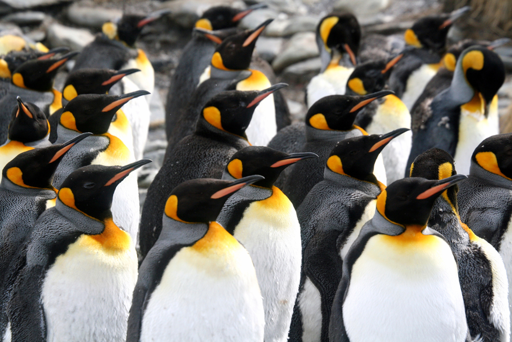 Pinguine_web